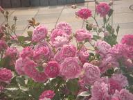 薔薇02.JPG